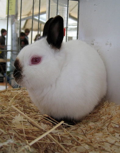Pink eyed rabbit