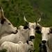 Vacas de orelhas e focinho preto