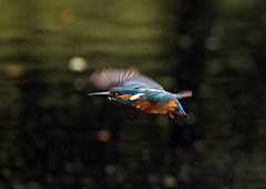 Kingfisher_1667 (Peter Warne-Epping Forest) Tags: nature canon wildlife kingfisher 7d common rspb alcedoatthis ryemeads lonedad