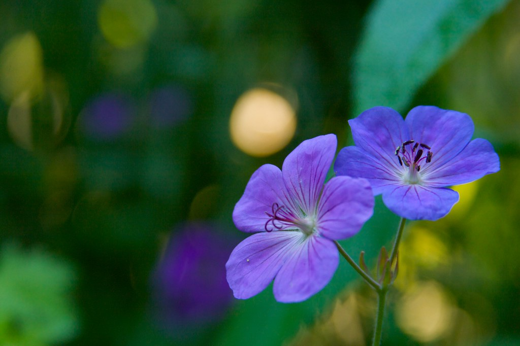 geranium blue sunrise  397