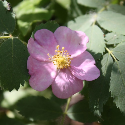 Wild Rose, June Lake, CA