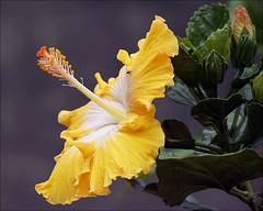 Yellow Hibiscus (Foto Martien (thanks for over 2.000.000 views)) Tags: flower holland colour macro netherlands fleur dutch colorfull flor nederland hibiscus jamaica tropical bloom malvaceae rosemallow blume fiore blte coloured hibiskus bunt veluwe blum bloem macrophoto ibisco sorrel hibiscos polychrome bont tropisch harskamp veelkleurig macrofoto kleurig macroopname flordejamaica zorgboerderij a550 zorginstelling passiflorahoeve martienuiterweerd martienarnhem sonyalpha550 mygearandme mygearandmepremium minoltamacro100mm28mm mygearandmebronze mygearandmesilver mygearandmegold mygearandmeplatinum mygearandmediamond ringexcellence fotomartien kleuurrijk