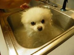 Bathtime for Buffy #1 (rabidscottsman) Tags: dog white water woof soap sink clean wash pomeranian soapy bowwow scotthendersonphotography