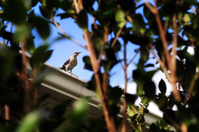 mockingbird mama