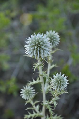 Flora en el mirador els Molins, Jávea