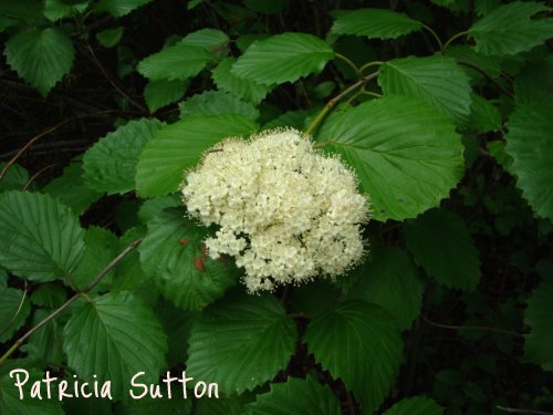 12-Arrowwood-Viburnum dentatum-6-5-08(2)-w-signature