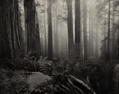 Del Norte Redwoods - 4x5 HP5+ (Zach Boumeester) Tags: california park wood city trees red fern film fog del analog coast graphic state large crescent 150 special mc coastal national plus 4x5 lf hp5 crown format redwood rodinal sequoia ilford norte graflex sempervirens 75mm f32 r09 grandagon f68 multicoated