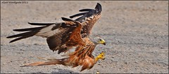 Red Kite - Buckinghamshire (press L to view ) (Alan Woodgate) Tags: