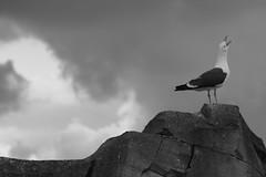There Can Be Only One! (Undertable) Tags: sky blackandwhite bw cloud seagulls rock clouds blackwhite rocks cloudy seagull gull gulls wolken overcast sw fels schwarzweiss mwe mwen schnabel felsen schrei bewlkt seemwe seemwen oliverbauer doublyniceshot