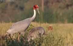 The Sarus Crane (vaidyarupal) Tags: wild india nature birds avian gujarat ahmedabad saruscrane grusantigone kheda gruidae sarus vaidyarupal sigma150500mm canon1000d rupalvaidya