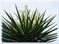 Flowering Yucca aloifolia (Spanish Bayonet, Aloe Yucca) at Cheras Leisure Mall, KL - June 30 2011