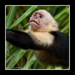 White Face Monkey - Manuel Antonio National Park - Costa Rica (Lucie et Philippe) Tags: voyage trip travel america monkey nationalpark costarica central national parc manuelantonio centrale singe amrique
