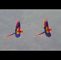 Scarlet Macaws - Carara area - Costa Rica (Lucie et Philippe) Tags: voyage trip travel america costarica central centrale amérique