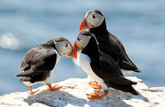 Puffins, Inner Farne, National Trust (Jim_Higham) Tags: red wild summer england bird feet nature season europe natural legs bright wildlife clown wing like eu atlantic northumberland national breeding trust puffin british colourful coloured neak