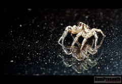 Jumping spider (FLASH MEDIA CREATIONS) Tags: india macro advertising photography spider jumping nikon fashionphotography creative ram tamilnadu coimbatore designing professionalphotography foodphotography cbe productphotography fmc industrialphotography advertisingphotography ramprasanth jewelleryphotography photographycompany designinglogo flashmediacreations productphotographyincoimbatore industrialphotographyincoimbatore professionalphotographysolutions photographyprintinglogo coimbatoreweb ramprasanthphotography