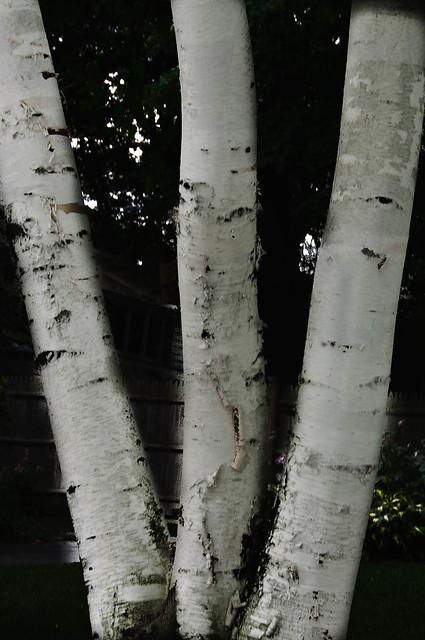 Birch Tree W