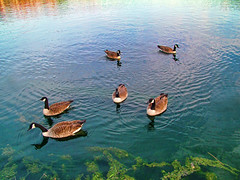 Flock (h_roach) Tags: blue water birds swimming canadageese gettyimage