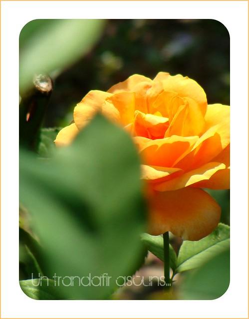 un trandafir ascuns