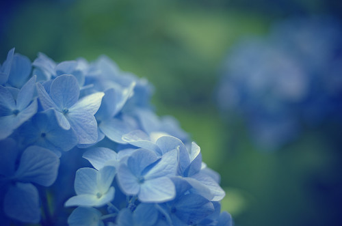 フリー写真素材, 花・植物, 紫陽花・アジサイ, 青色の花,