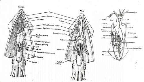 Printables Squid Dissection Worksheet squid diagram collection of dissection worksheet bloggakuten anatomy 35055 ramweb