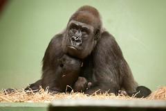 2011-07-28-15h24m04.272P2317 (A.J. Haverkamp) Tags: zoo rotterdam blijdorp gorilla tamu dierentuin diergaardeblijdorp tamani westelijkelaaglandgorilla httpwwwdiergaardeblijdorpnl canonef100400mmf4556lisusmlens pobrotterdamthenetherlands pobapeldoornthenetherlands dob13031993 dob26072011
