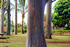 Eucalyptus Tree-Dole Plantation, Hawaii (silver_pearl.geo) Tags: usa tree hawaii doleplantation rainbowtree circletour eucalyptusdegluptarainbow