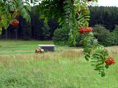Am Bornwald (Suppenländer) Tags: wiese wald pferd erzgebirge vogelbeere bornwald krumhermersdorf