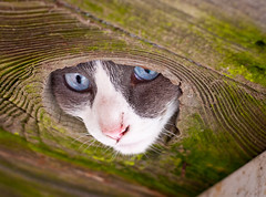 Cammy Looking Through the Knot Hole (dharperino) Tags: sanfrancisco cute goofy cammy knothole pottingtable floragrubb ceilingcat