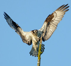 No Room for Error (Wes Aslin) Tags: canada britishcolumbia raptor osprey pandionhaliaetus abbotsford tc14eii nikkor300mmf4afs
