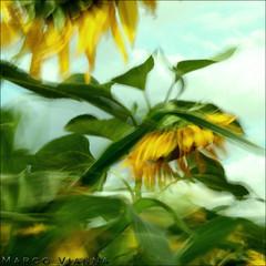 Bailando con Girasoles (m@tr) Tags: espaa canon sunflower catalunya ripollet girasoles canoneos400ddigital pueblosdeespaa canonefs1855mmf3556is villaderipollet mtr marcovianna bailandocongirasoles