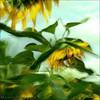 Bailando con Girasoles (m@®©ãǿ►ðȅtǭǹȁðǿr◄©) Tags: españa canon sunflower catalunya ripollet girasoles canoneos400ddigital pueblosdeespaña canonefs1855mmf3556is villaderipollet m®©ãǿ►ðȅtǭǹȁðǿr◄© marcovianna bailandocongirasoles