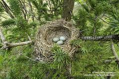 hgs_n2_008366 (Helgi Sigurdsson) Tags: iceland nest egg eggs sland helgi hreiur garar sigursson sigurdsson gardar