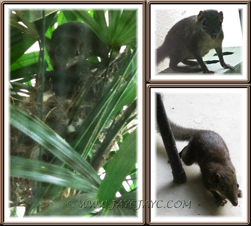 Hungry squirrel, searching for a meal in our garden, July 20 2011
