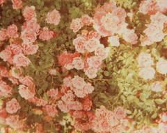 (_acido) Tags: pink flowers light roses summer film vintage polaroid spectra mymomlovesrosesandthisphotoisallher