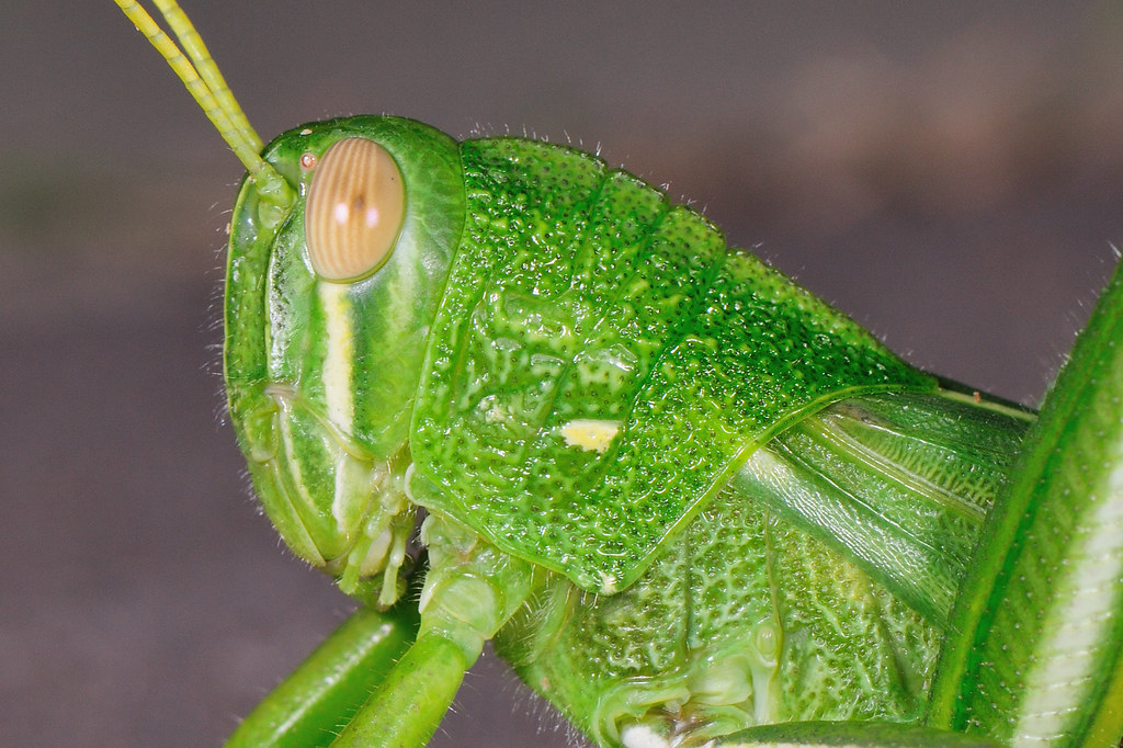 台灣大蝗 Chondracris rosea.