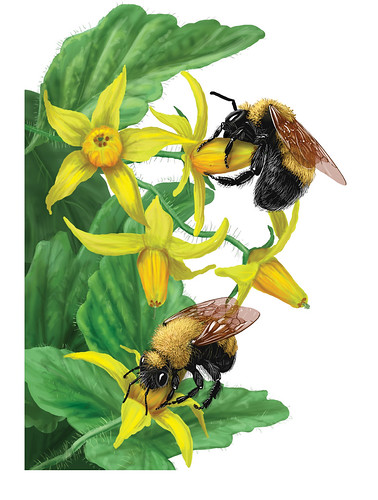 The USDA Forest Service, along with Pollinator Partnership, has produced a booklet called Bee Basics: An Introduction to our Native Bee. From the booklet, two female Morrison's bumble bees (Bombus morrisoni) sonicate the pollen from pored-anthers of a garden tomato.