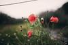 poppy (In Memory Lane~) Tags: nature 35mm dof bokeh mark lavender ii poppy 5d mayfield 35l