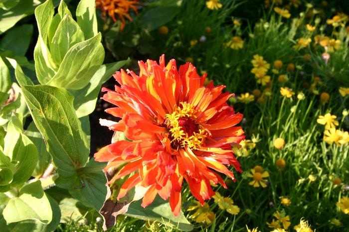 orangeflower
