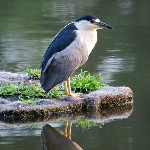 Black Crowned Night Heron