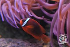 Clown fish-4
