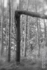 Laguz  (Myrkwood666) Tags: wood bw monochrome forest blackwhite symbol zwartwit sw schwarzweiss bos wald pagan rune futhark asatru laguz seelenwinter mrkskygge laukaz myrkwood666