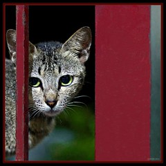 Cat peep (315Edith) Tags: red window metal cat fur 50mm evening availablelight framed grille cateyes 500d