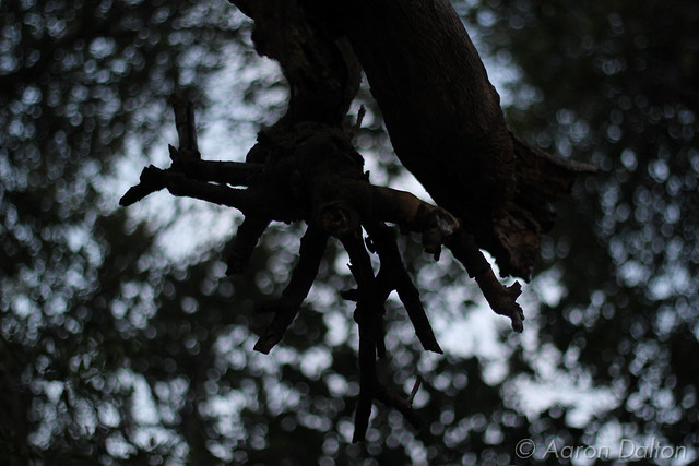 A Gangly Oak Branch and Cool Bokeh