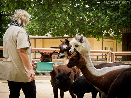 Feeding time for the Alpacas. Taken with an Olympus E5 DSLR.