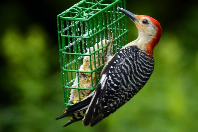 Red-bellied Woodpecker male