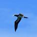 Sula leucogaster 褐鲣鸟