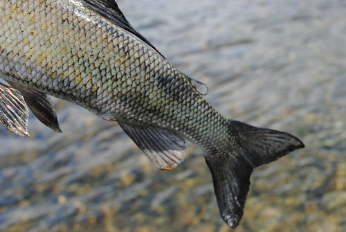 Melanistic grayling, Lake Clark