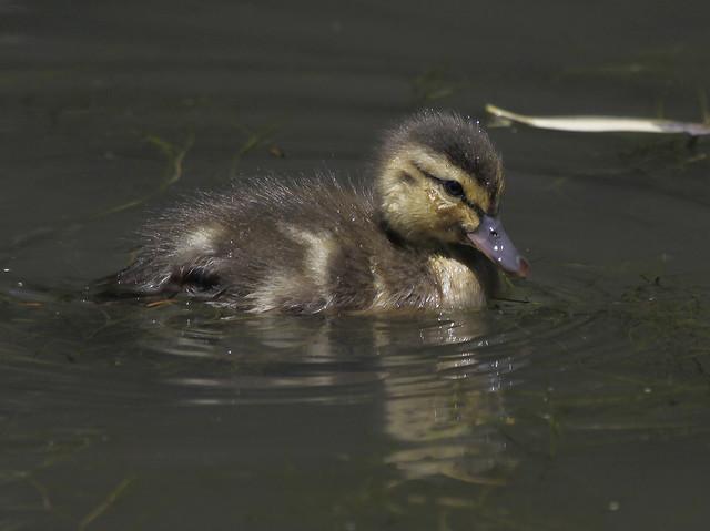 duckling4
