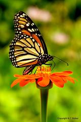 Monarch of Glow (NTFlicker) Tags: bokeh nikoncoolpix8800 monarchbutterflyorangeflowerreflect