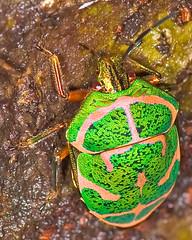 Poecilocoris lewisi Close-up,  (aeschylus18917) Tags: macro green nature japan bug insect gold nikon g micro  saitama nikkor stinkbug f28 vr sayama saitamaken 105mm truebug insecta  105mmf28  hemiptera heteroptera scutelleridae 105mmf28gvrmicro poecilocorislewisi saitamaprefecture  d700 nikkor105mmf28gvrmicro  sayamashi danielruyle aeschylus18917 danruyle druyle   akasujikinkame